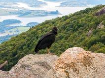 黑雕在岩石的Coragyps atratus 免版税库存图片