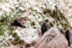 雕红色脖子鸟。Ballestas Islands.Peru.South美国。国家公园Paracas。植物群和动物区系 免版税库存图片