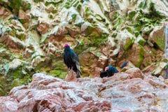 雕红色脖子鸟在Ballestas Islands.Peru.South美国。国家公园Paracas。 免版税图库摄影
