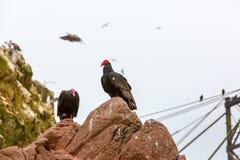 雕红色脖子鸟在Ballestas Islands.Peru.South美国。国家公园Paracas。 图库摄影