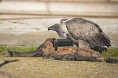 雕肉食,当吃一只动物尸体时 图库摄影