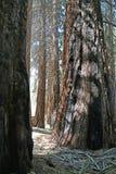 雕象般的美国加州红杉树丛  免版税库存图片