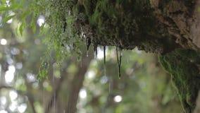 雨下落。森林,青苔。 股票视频