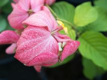 雨下落侧视图在夫人Training Pink Flowers的 免版税库存图片