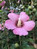 雨亲吻了莎朗花桃红色玫瑰  免版税库存图片