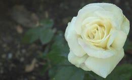 雨亲吻了白玫瑰 库存图片