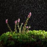 雨和石楠 免版税库存照片