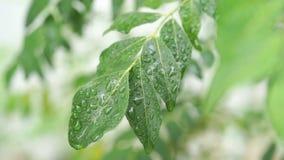 雨在咖喱落下离开树植物 股票录像