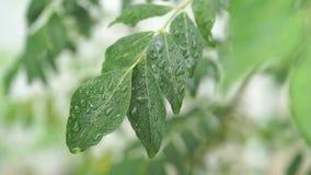 雨在咖喱落下离开树植物 股票视频