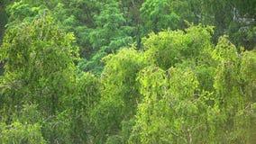 雨在有焦点的森林里在树 股票视频