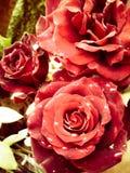 雨在玫瑰的下落亮光 免版税库存图片