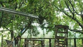 雨在私有庭院里 流动在rainspout下的雨水 雨水滴在苹果树和樱桃分支的  股票视频