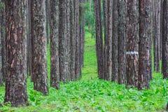 雨季的杉木森林 免版税库存照片