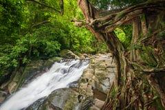 雨季的热带森林,与青苔的古老榕树和地衣前景,瀑布背景 海滩多雨含沙季节热带伞 帕劳 免版税库存图片