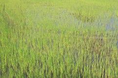 雨季米领域在泰国开花 免版税图库摄影