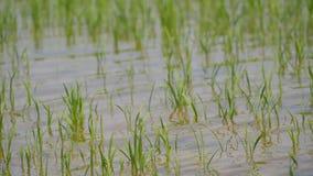 雨导致洪水和损坏对农业庄稼 股票视频