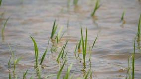 雨导致洪水和损坏对农业庄稼 股票录像