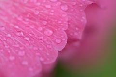 雨小滴宏观纹理在桃红色木槿的开花 免版税库存照片