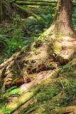 雨林在温哥华岛,不列颠哥伦比亚省,加拿大 免版税库存照片