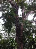 雨林树在秘鲁 库存照片