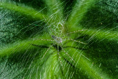 从雨林的绿色linx蜘蛛 库存照片