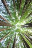 雨林红木树 库存照片