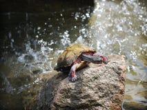 雨林红色乌龟 免版税库存照片