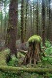 雨林老树桩死亡带来新的成长生活 库存照片