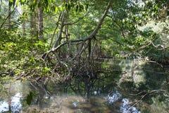 雨林,美洲红树 生态旅游 免版税库存图片
