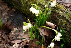 雨水下落在第一春天的开花- snowdrops 库存图片