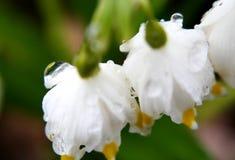 雨水下落在第一春天的开花- snowdrops 免版税库存照片