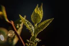 雨水下落在绿色叶子的在早晨发光在阳光下 库存照片
