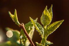 雨水下落在绿色叶子的在早晨发光在阳光下 免版税库存图片