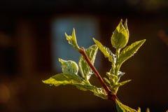 雨水下落在绿色叶子的在早晨发光在阳光下 库存图片