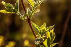 雨水下落在绿色叶子的在早晨发光在阳光下 免版税库存照片