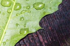 雨水叶子和滴  库存图片