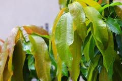 雨水在一个绿色叶子芒果滴下在庭院里 库存图片