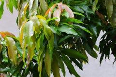 雨水在一个绿色叶子芒果滴下在庭院里 库存照片