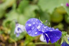 雨水滴在一朵蓝色花的 库存图片