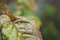 雨水滴在一片绿色叶子的 免版税库存照片