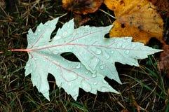 雨水滴在下落的叶子的在雨期间在秋天打标准数 免版税库存图片