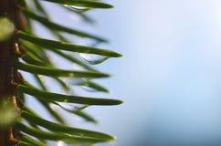 雨水滴在云杉的分支关闭的针的 免版税库存图片