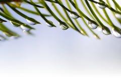 雨水滴在云杉的分支关闭的针的 库存图片