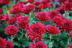 雨水滴在红色菊花的 免版税库存照片