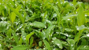 雨水滴在草的 免版税图库摄影