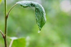 雨水滴在apple_一片湿绿色叶子的  图库摄影