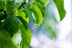 雨水滴在apple_一片湿绿色叶子的  免版税库存图片