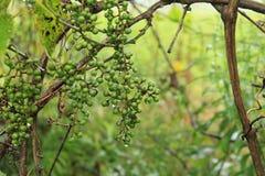 雨狂放的葡萄被浸泡的群 免版税库存图片
