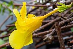 雨珠特写镜头与反射的在一朵金喇叭黄蔓花 图库摄影