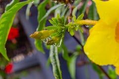 雨珠特写镜头与反射的在一朵金喇叭黄蔓花 免版税图库摄影